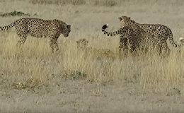 Четверо против одной — яростная схватка гепардов попала на видео