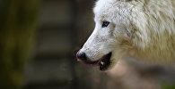 Волк. Архивное фото