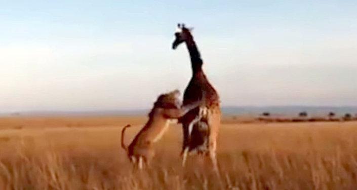 Лев обхитрил жирафа и напал на его детеныша — видео