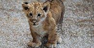 Львенок в зоопарке. Архивное фото