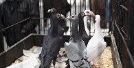 На выставке голубей. Архивное фото