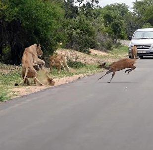 Арстандардын үстүнөн секирген антилопа жырткычтардын чеңгелине түшүп калды