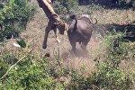 Буйвол напал на львицу и подбросил рогами в воздух — видео из ЮАР