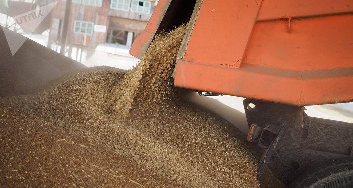 Пшеница, собранная на полях. Архивное фото