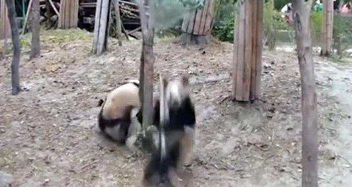 Панда помешала уединению сородичей, упав с дерева