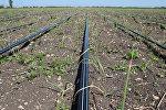 Капельное орошение поля с посаженным луком. Архивное фото