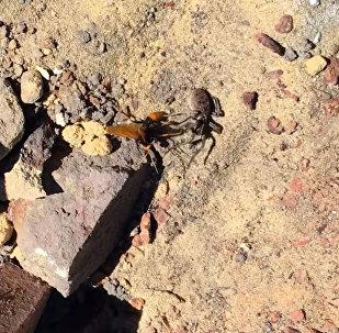 Видео смертельной схватки паука и шершня появилось в Интернете