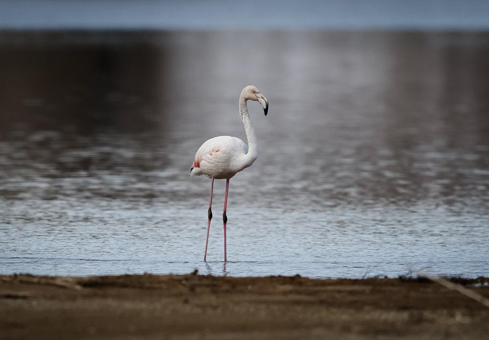 Фламинго — Кыргызстанда кышында же чымчыктар жер которуп жаткан мезгилде кездешет. Сүрөт Ысык-Көлдүн жээгинен декабрь айында тартылган