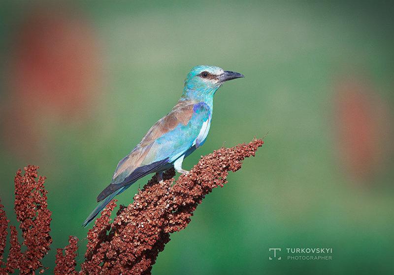 Сизоворонка — редкая гнездящаяся перелетная птица. Гнезда сооружает в естественных пустотах деревьев или норах глубиной 0,25-1,25 метра, которые раскапывает сама. Сфотографирована в предгорьях недалеко от Бишкека в июне.