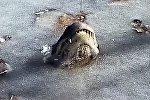 Аллигаторы вмерзли в лед в одном из парков США Alligatory vmerzli v led v SSHA
