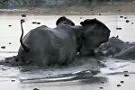 В Интернете появилось видео нападения слонихи, защищавшей своего детеныша, на двух бегемотов.