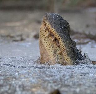 Вмерзшие в лед аллигаторы в одном из парков США оттаивают и оживают — видео