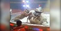 В китайском цирке тигр и лев напали на лошадь на глазах у зрителей — видео