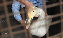 Раненый лебедь-кликун обнаруженный сотрудниками NABU