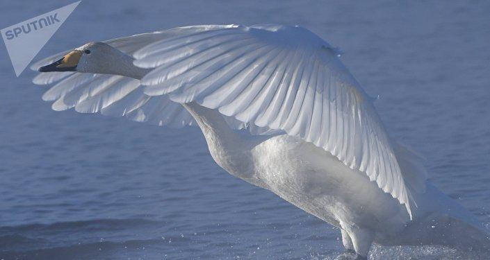 Архивное фото лебеди-кликуна