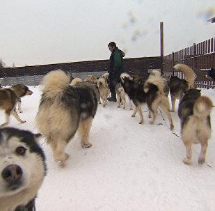 Хаски из приюта для брошенных собак катают детей на санях — видео