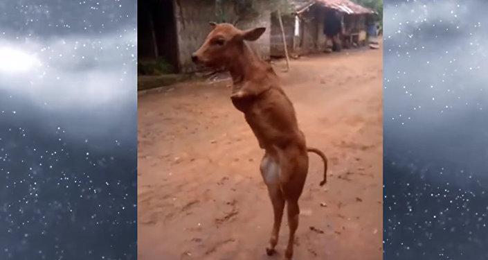 Индонезияда эки буту жок туулган музоо киши сымал басып таң калтырды. Видео
