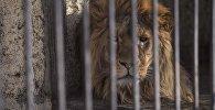Лев Симба в Зоопарк Бугу-Эне в Караколе