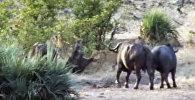 Буйволы отбили у львов беззащитного слоненка — видео из ЮАР