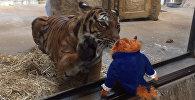 Оюнчуктан айрылгысы келбеген зоопарктагы жолборстун видеосу