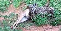 Төрт метрлик жылан эликти бүкүлү жутуп салды. Видео