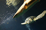Черепаха и акула. Архивное фото