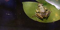 Зеленая лягушка. Архивное фото