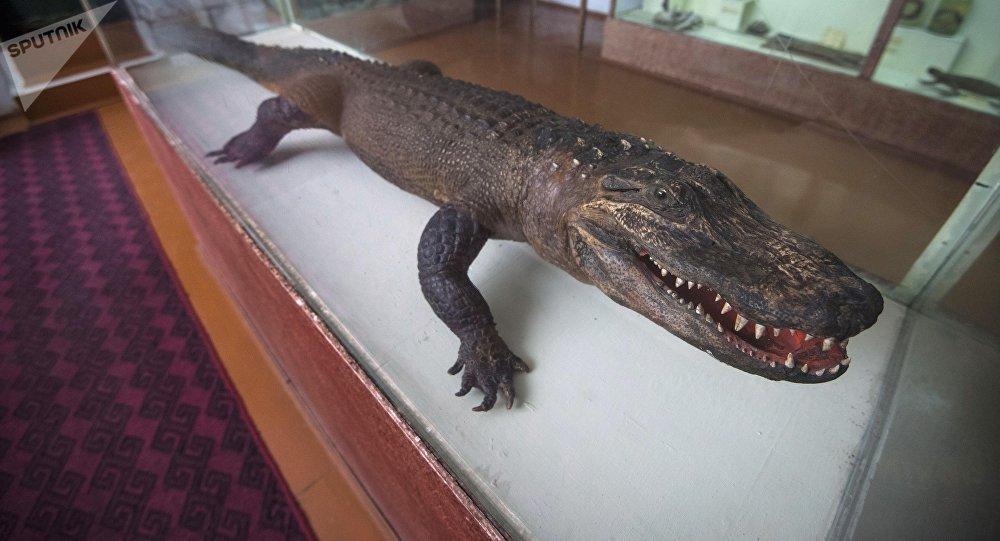 Улуттук илимдер академиянын имаратында жайгашкан Зоология музейиндеги крокодил