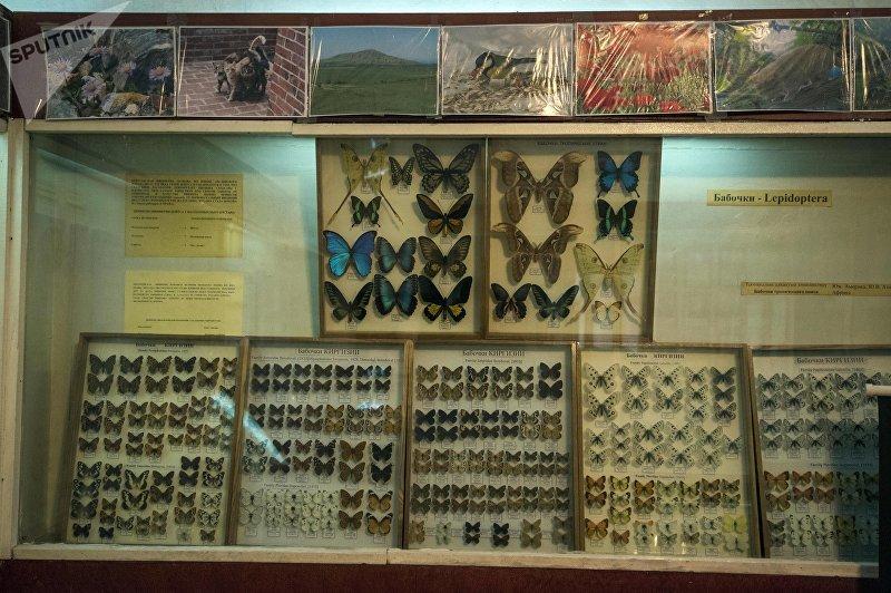Стенд с бабочками в зоологическом музее Национальной академии наук КР в Бишкеке