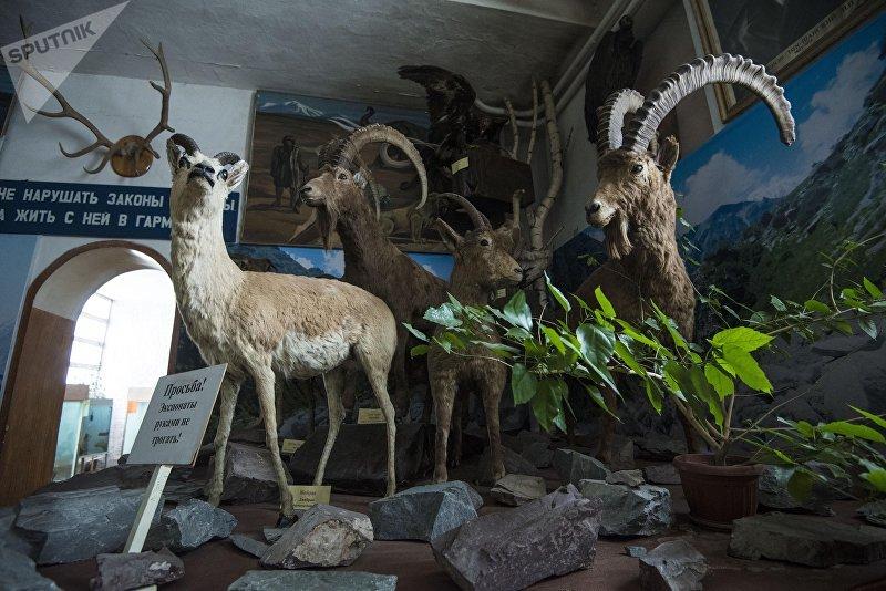 Чучело диких горных козлов в зоологическом музее Национальной академии наук КР в Бишкеке