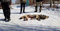 Нарын облусуна караштуу Ак-Талаа районунун Баетов айылынын тургуну Сыймык Курманбек уулу менен Кылыч Сатыналиев Баба-Чал кыштоосунан дөбөт карышкырды атып өлтүрүшкөнүн аймактык кабарчы маалымдады