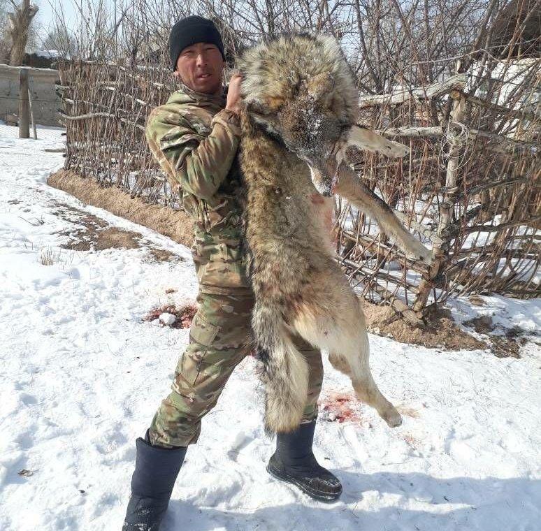 В селе Баетов, Ак-Талинского р-на Нарынской области местными жителями был убит волк нападавший на лошадей