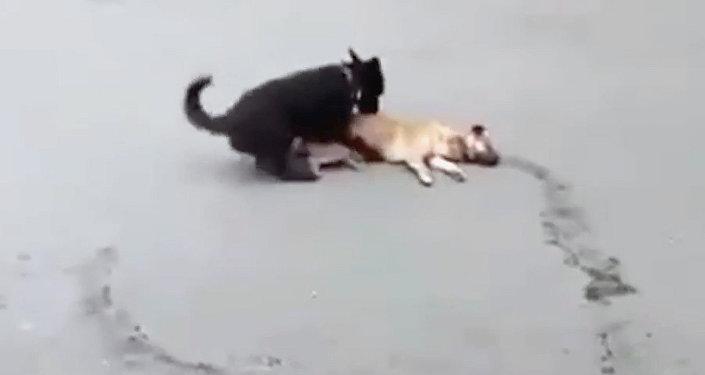 Собака оттащила попавшего под машину друга