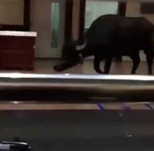 В Китае разъяренный бык ворвался в больницу и напал на людей — видео