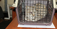 Детеныш рыси найденный в селе Тар-Суу Кеминского района