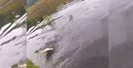 Наглый крокодил отобрал добычу у рыбака — видео из Флориды