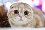Кошка породы шотландская вислоухая (скоттиш-фолд). Архивное фото