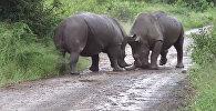 С животной ненавистью — видео жестокой схватки носорогов попало в Сеть