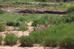В ЮАР раненого в схватке с крокодилом жирафа съели львы — жестокое видео
