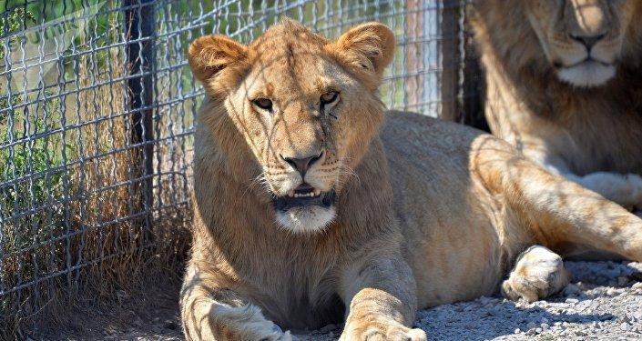 Львица в зоопарке. Архивное фото