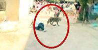 Индияда жаалданган кабылан шаарга кирип келип элге кол салды. Видео