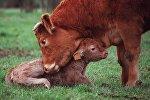 Корова с теленком. Архивное фото