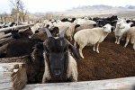 Овцы и козы в загоне. Архивное фото