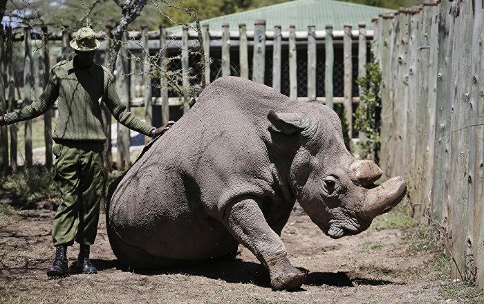 В Кении умер последний на планете самец северного белого носорога