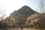В Оше на склоне горы Сулайман-Тоо зацвели абрикосовые и миндальные деревья