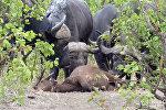Так выглядит животный траур — буйволы облизали убитого детеныша. Видео