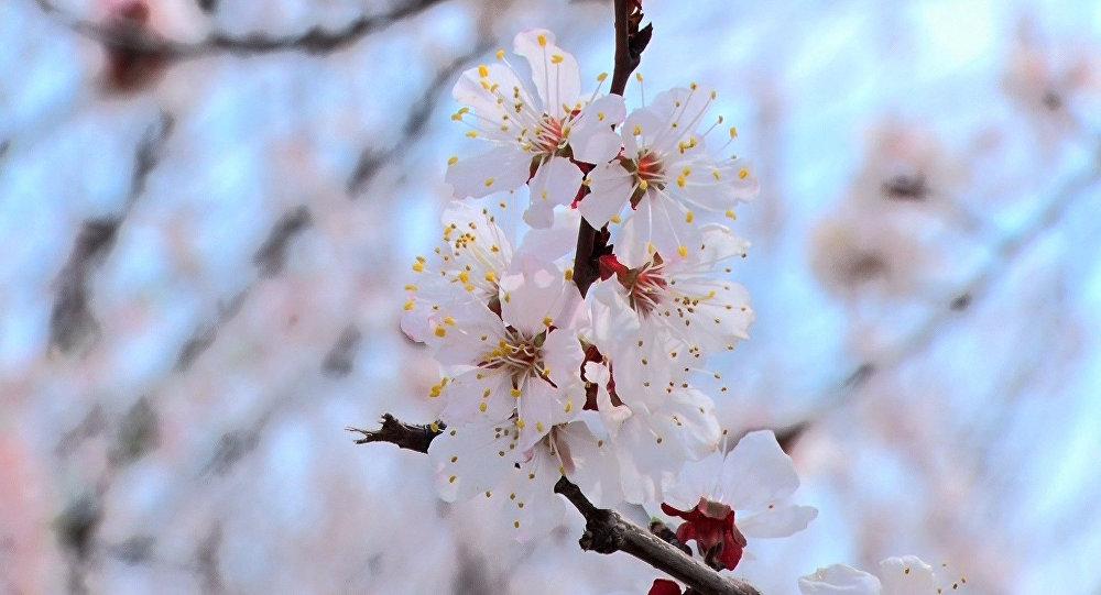 Цветение урюка в Лейлекском районе