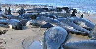 Туши мертвых дельфинов. Архивное фото