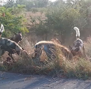 Редкое видео схватки собак и гиен появилось в Сети