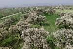 В Баткене зацвели огромные абрикосовые сады — аэросъемка